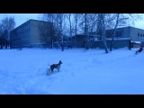 Белый Цверг Еджин (6 мес) и Ксоло Викинг (5 мес) встретились со сворой дворовых собак. 01.12. 2012.